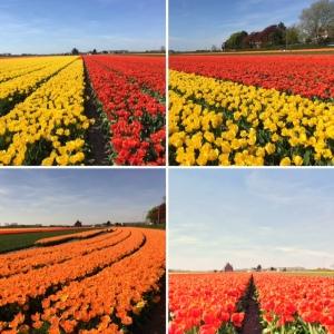 maRRose - CCC - Tulips 2016-14